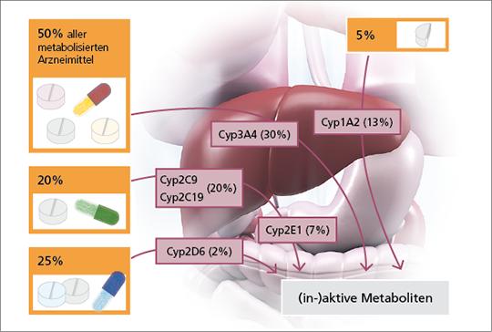 Abb. 1: Prozentualer Anteil der wichtigsten Cyp-Isoenzyme des Arzneimittelmetabolismus in der Leber.