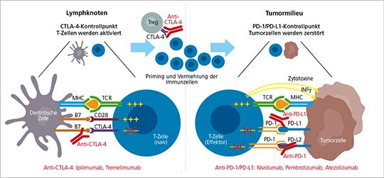Abb. 1: Immun-Checkpoint-Blockade, CTLA-4- und PD-1-Antikörper lösen die natürlichen Bremsen.