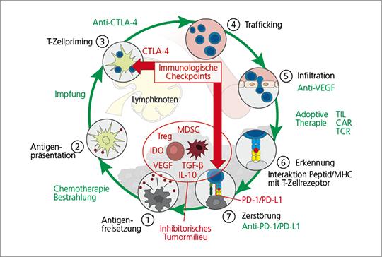 Abb. 2: Der Krebs-Immunitätszyklus, mögliche therapeutische Angriffspunkte bei Krebs-Immuntherapien.