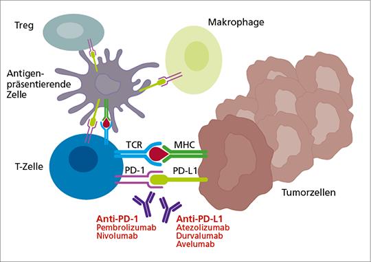 Abb. 1: Der PD-1-Rezeptor wird u.a. auch von aktivierten T-Zellen exprimiert.