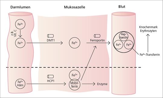 Abb. 1: Eisenstoffwechsel, Anämien, Diagnostik und Therapie (mod. nach (3)).