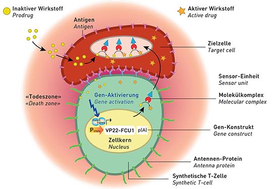 So funktionieren die künstlichen T-Zellen. © ETH Zürich