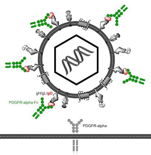 Lösliche PDGFR-alpha-Fc-Moleküle binden an das Hüll-Glykoprotein O (gO) des Cytomegalovirus und verhindern so die Bindung an den zellulären Rezeptor PDGFR-alpha. © Prof. Dr. med. Christian Sinzger (Institut für Virologie, Universität Ulm)
