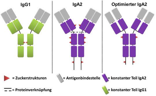 Gegenüberstelung von IgG und IgA Antiikörpern sowie der optimierten IgA2 Variante (u.a. reduzierte Anzahl an Zurckerstrukturen)