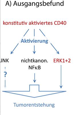 Abb. 1: Ausgangsbefund: Signalwege, die im Mausmodell mit konstitutiv aktivem CD40 aktiviert werden. © Wilhelm Sander-Stiftung