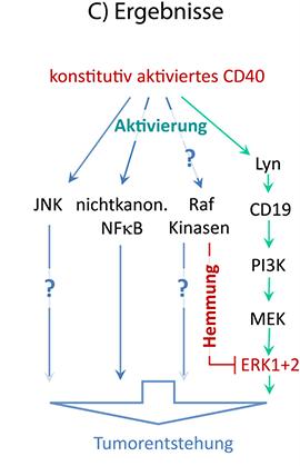 Abb. 3: Die Ergebnisse führten zu der Identifizierung eines völlig neuartigen Signalwegs, der – unabhängig von Raf-Kinasen – zur Erk-Aktivierung und Tumorentstehung beiträgt. © Wilhelm Sander-Stiftung