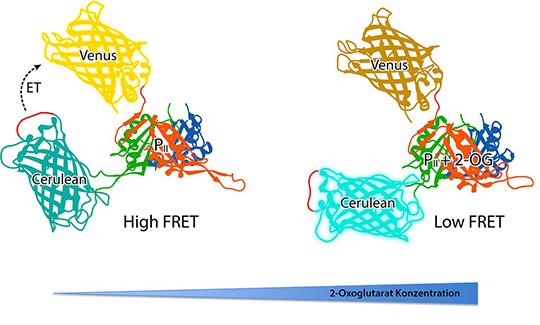 Das Sensorprotein bindet 2-Oxoglutarat und ändert dadurch seine Struktur. Daraus resultiert eine messbare Änderung der Fluoreszenz. © Karl Forchhammer