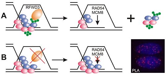 A: Das Enzym RFWD3 markiert Proteine, die auf einsträngiger DNA sitzen. B: Ist es defekt, wird die Reparatur der DNA behindert. (Abbildung modifiziert nach Inano et al.)