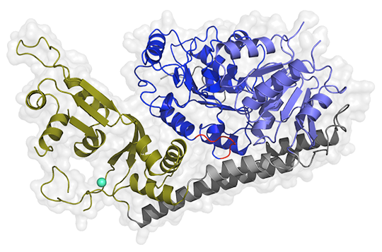 Die Struktur von RecQ4 zeigt die zentralen Helikase-Domänen (blau), die über zwei Brücken-Helices (grau) mit einer neuartigen Zink-Bindedomäne (grün) verbunden sind. Zinkion ist türkis dargestellt. © AG Kisker