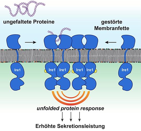 """Ungefaltete Proteine und fehlerhafte Zusammensetzungen der Membranfette werden von dem Sensorprotein Ire1 erfühlt und führen zur Aktivierung der """"unfolded protein response"""". © Robert Ernst"""