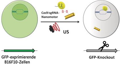 Wissenschaftler haben einen aktiven Nanomotor entwickelt, der das Genschneidesystem zielgerecht in der Zelle absetzt. © Wiley-VCH
