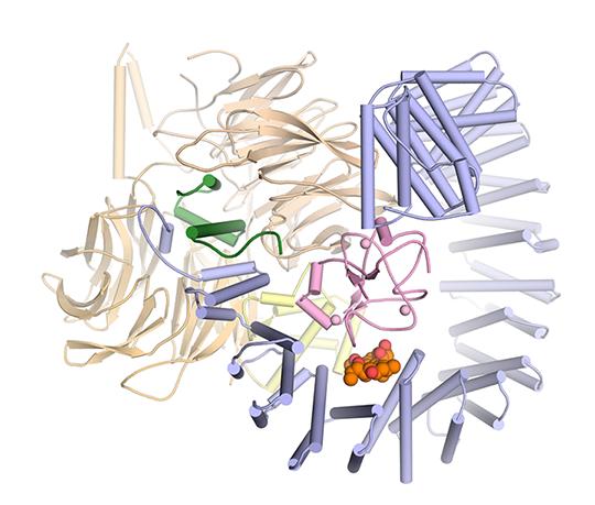 Dreidimensionale Struktur von SF3B im Komplex mit dem Wirkstoff Pladienolid B (orange und rot). Vlad Pena/MPI für biophysikalische Chemie