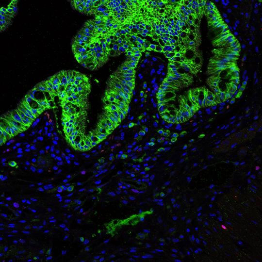 Dickdarm einer Maus ohne Stammzellnische. © Bahar Degirmenci, UZH