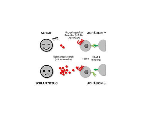 Schon nach 3 Stunden Schlafentzug beeinträchtigt: Die Adhäsion der T-Zellen, also ihre Fähigkeit, sich an infizierte Zellen anzuheften und diese zu beseitigen. (© Tanja Lange)