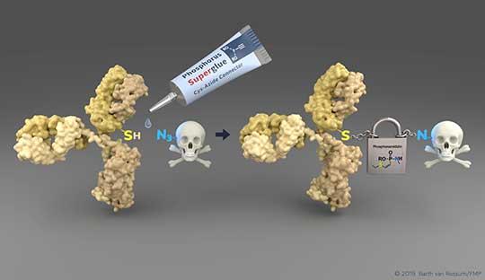 Verbindung der Antikörper mit toxischen Molekülen