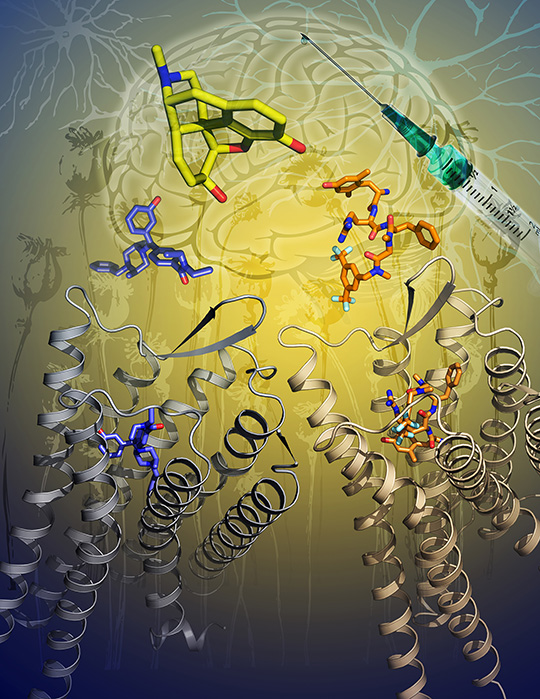 Die Grafik zeigt die 2 beschriebenen Kristallstrukturen des Delta-Opioid-(DOP)-Rezeptors mit aktivierenden Molekülen (blau und orange). Morphin, ein starkes Schmerzmittel, ist in Gelb dargestellt. (© Katya Kadyshevskaya/University of Southern California)