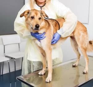 Hunde helfen bei der Erforschung des Mammkarzinoms