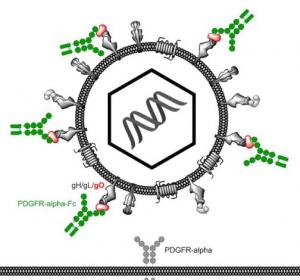 Körpereigene Peptide als Hemmstoffe gegen das Cytomegalovirus