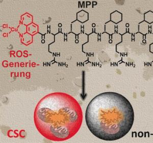 Metallopeptid zerstört gezielt Mitochondrienfunktion in Brustkrebs-Stammzellen