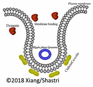 Verbesserung der Aufnahme von Polymernanopartikel durch Krebszellen