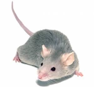 Stammzelltransplantation: GVHD durch Blockade des Zytokins GM-CSF im Mausmodell unterdrückt