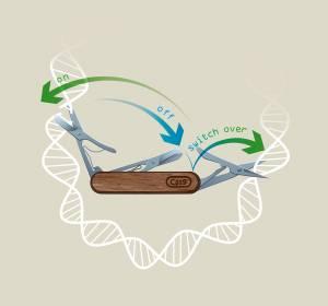 CRISPR-Switch: Gene in definierter zeitlicher Reihenfolge ausschalten