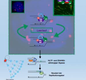 Therapieresistenz unter PARP-Inhibitor durch Bypass-Mechanismus von p53
