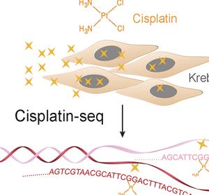 Mitochondriale DNA ist eine der Hauptbindungsstellen von Cisplatin