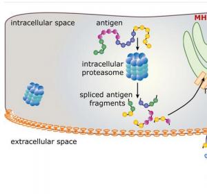 """Gesplicte"" Epitope erklären Flexibilität des Immunsystems"